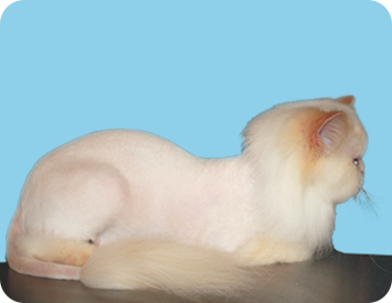Shaved Mobile Cat Grooming